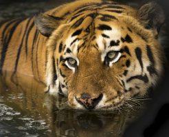 tiger-2791980_640
