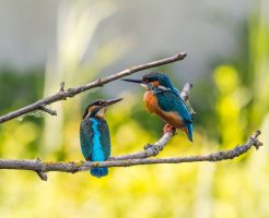 kingfisher-2363887_1920